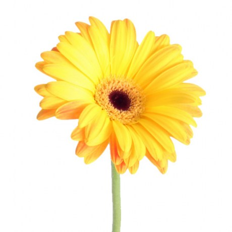 gerbera_yellow