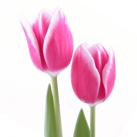 tulips_pink_white