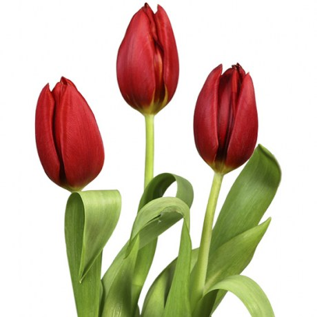 tulips_red