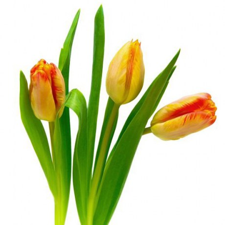 tulips_yellow_red